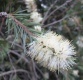 - Callistemon salignus (Willow Bottlebrush)