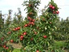 - Malus domestica (various edible apple cultivars)