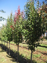 - Pyrus calleryana 'Chanticleer' 'Cleveland Select' (Glens Form)