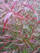 - Agonis flexuosa 'Burgundy' (Burgundy Willow Myrtle)