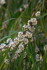 - Agonis flexuosa (Willow Myrtle)