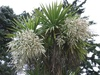 stricta (Narrow-leaved Palm Lily)