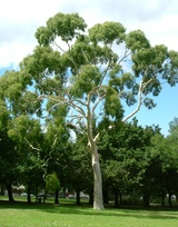 - Corymbia citriodora (Lemon-scented Gum)