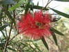 - Callistemon x 'Kings Park Special'