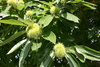 sativa (Sweet Chestnut)