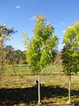 - Fraxinus excelsior 'Green Glow'