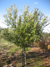 - Ulmus parvifolia 'Murray's Form'
