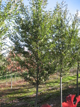 - Ulmus parvifolia 'Burnley Select'